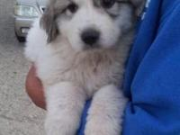 AKC GREAT PYRENEES PUPPIES A COUPLE FEMALE AND MALE