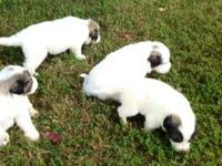 Great pyrenees puppies for sale... AKC reg. Both