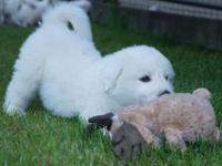 AKC Great Pyrenees puppies. Absolutely Gorgeous! Big
