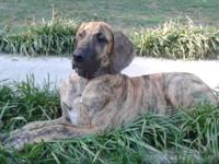 AKC GREATDANE LADY BRINDLE. COMPLETE BLOODED, WITH ALL
