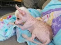 9 1/2 week old hairless chinese crested male. Located