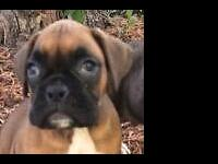 1 Awesome AKC Registered Half European female Boxer