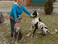AKC Harlequin Great Dane female This girl is the