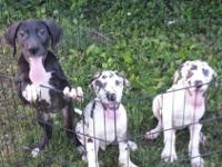 2 male Harlequin pups 9 weeks old , available now. AKC