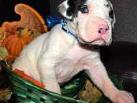 I have 8 akc great dane puppies. I have harlequins, a
