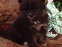 AKC beautiful black lady with white stripe, white