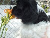 AKC Havanese puppies for sale. They are lovable and