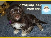 AKC Chocolate Havanese, registered, paper trained &