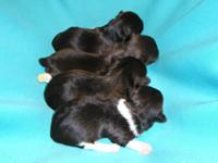 AKC Havanese Males: Chocolate Pigment, Dark Brown &