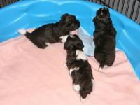AKC HAVANESE, Chocolate Brown & White MALE Puppy, parti