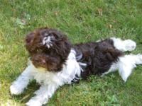 AKC Havanese puppies, Hypoallergenic and non- shed.