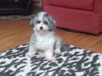 AKC Registered Female Havanese. We are selling our