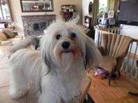 Beautiful Female Havanese, Annabelle born Jan 8 2011