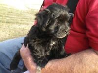 AKC registered Havanese puppies - ONLY ONE PUPPY STILL