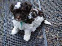 AKC Havanese new puppies, Hypoallergenic and non-