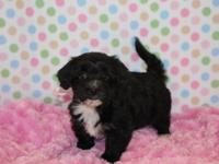 Beautiful Havanese puppies available ,Check out my web