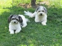 AKC Havanese puppies whelped 9-25-15.They will be vet