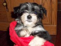 AKC Havanese pups. Parents champions, vet checked and