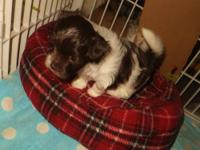Patches is a chocolate parti Havanese. She is
