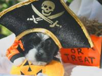 AKC Havanese Puppies - Born on 9.8.13, Rare Black &