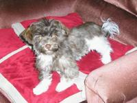 AKC HAVANESE, Chocolate Brown & White, Tiny Female, Pet