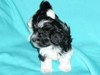 AKC HAVANESE Tricolor - Black & White with Tan Markings