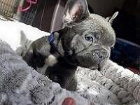 Akc Healthy French Bulldog Puppies for adoption-  --