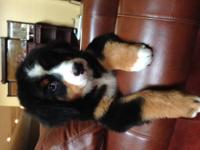 AKC Bernese Mountain Dog Puppy will be about 100- 125