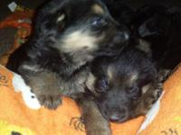 This fantastic litter was born December 21st, I am