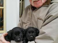 Field bred, hunting labrador retrievers.