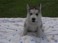 We have 2 AKC Husky puppies left. 1 female and 1 male