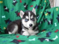 Beautiful AKC registered Siberian Husky puppies. We