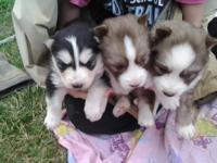 AKC REG SIBERIAN HUSKY PUPS!,,RED WHITE FEMALES AND BLK