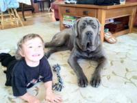 Taking deposits on AKC/ICCFCane Corso pups due around