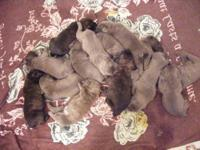 I have 2 males, gray brindle and brown brindle, and 3