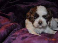 AKC imperial male shih Tzu will is now 5 weeks will be