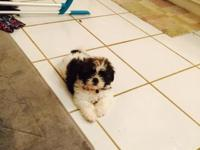 Tiny beautiful 2lb Shih Tzu ready for her loving home,