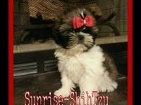 Beautiful akc imperial shih tzu ready to spend the