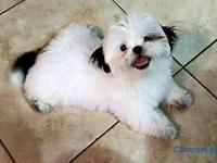 AKC imperial shih tzu, raised in home, full of love and