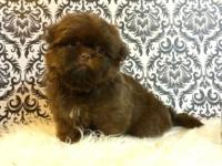AKC Shih Tzu infants est adult weight 6-7lbs pet rate