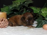 Gorgeous, quality Shih Tzu puppies are available now