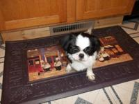 akc Little Daisy Lee,she comes from a 4 pound daddy,and