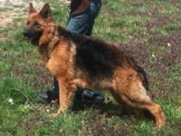 AKC German Shepherd Puppies. Sire is a imported Int.