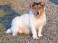 Gorgeous rough coated intact male, house/crate trained,