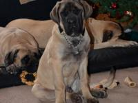 AKC English Mastiff Puppy Available for pick up only,