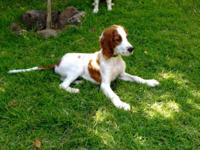 AKC Irish Red & White Setter Puppy- rare breed.