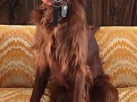 AKC registered Irish Setter, almost 2 years old, NOT
