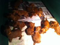 AKC Irish Setter puppies! Show quality & Pet quality