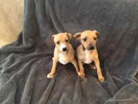 AKC GrCh bloodline Italian Greyhound puppies for sale.