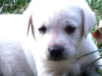 AKC Ivory Labrador Puppies - Papered and Pedigreed - 1
